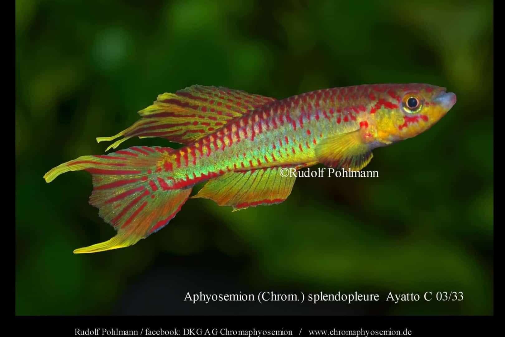 Aphyosemion (Chromaphyosemion) splendopleure – Splendopleure Zweistreifen-Prachtkärpfling 8