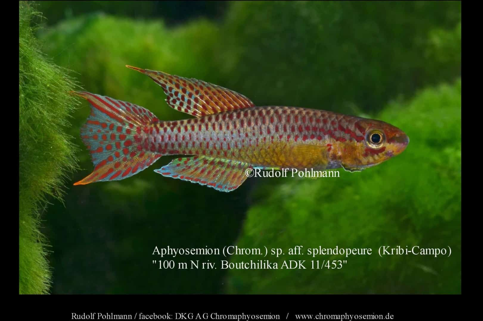 Aphyosemion (Chromaphyosemion) splendopleure – Splendopleure Zweistreifen-Prachtkärpfling 5