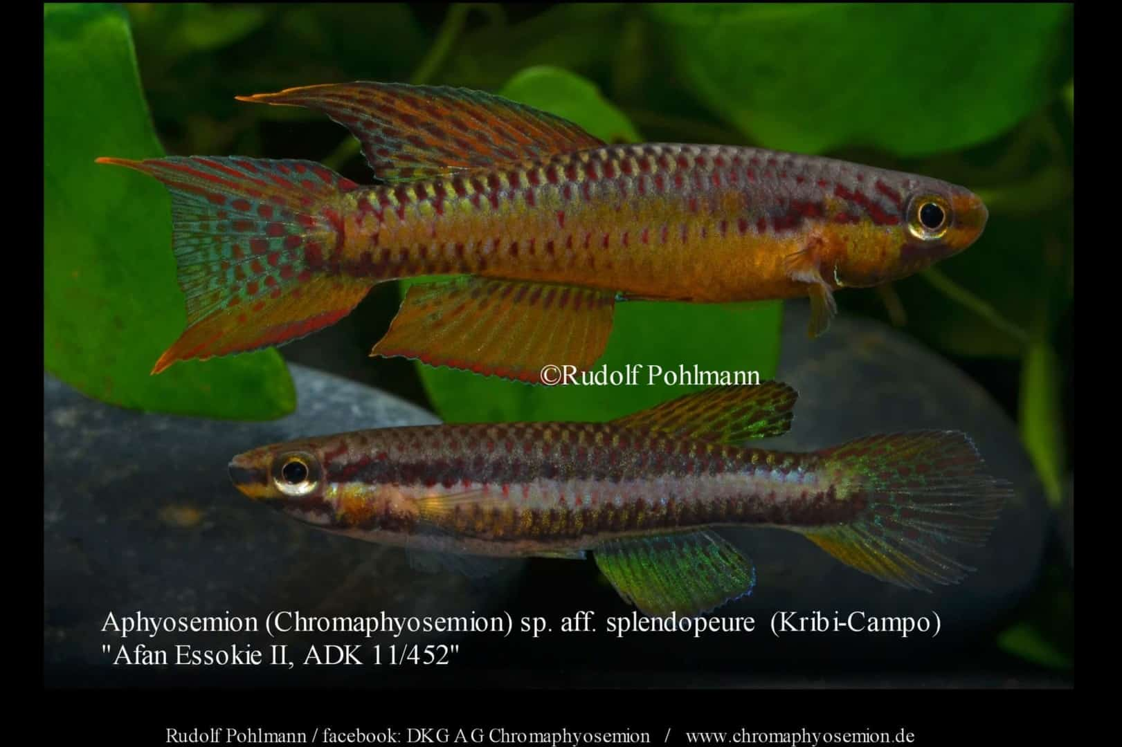 Aphyosemion (Chromaphyosemion) splendopleure – Splendopleure Zweistreifen-Prachtkärpfling 4