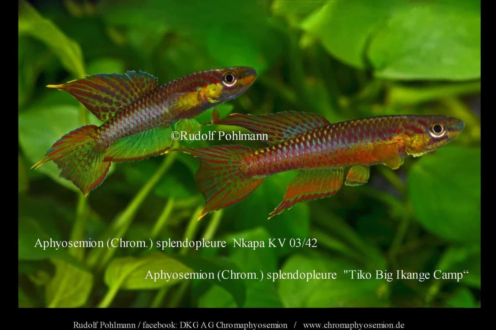 Aphyosemion (Chromaphyosemion) splendopleure – Splendopleure Zweistreifen-Prachtkärpfling 2