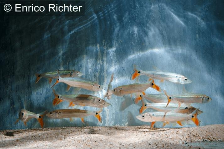 Acestrorhynchus altus - Roter Hundssalmler 1