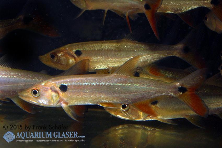 Acestrorhynchus altus - Barrakudasalmler 1