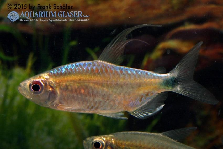 Alestopetersius smykalai - Blue Diamond 4