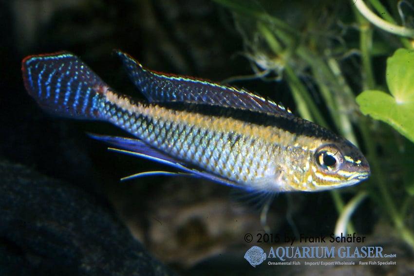 Dicrossus maculatus - Schachbrettcichliden 5