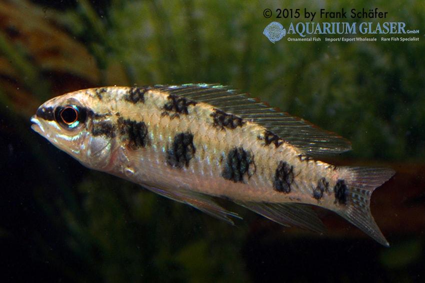 Dicrossus maculatus - Schachbrettcichliden 1