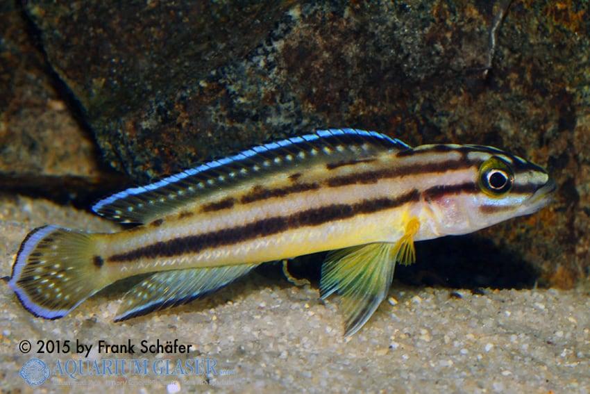 Julidochromis marksmithi 2