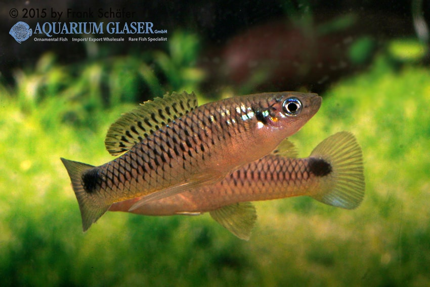 Pseudoxiphophorus anzuetoi 3