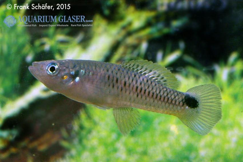 Pseudoxiphophorus anzuetoi 2