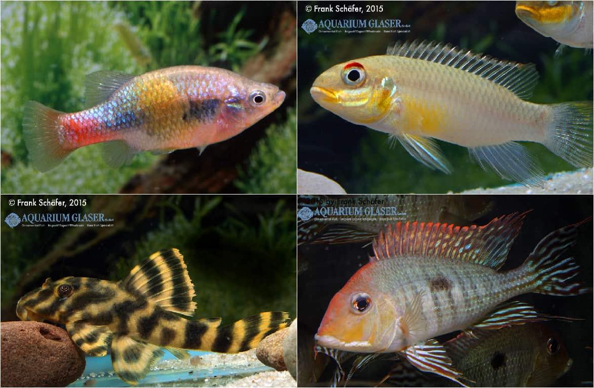 Quelle: Aquarium Glaser und Frank Schäfer