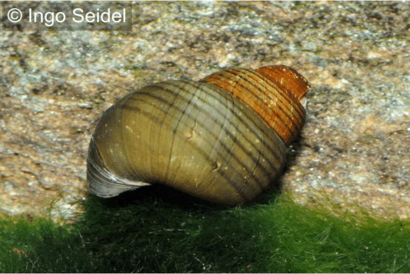 Cypangopaludina leucythoides - Grüne Torpedo-Schnecke