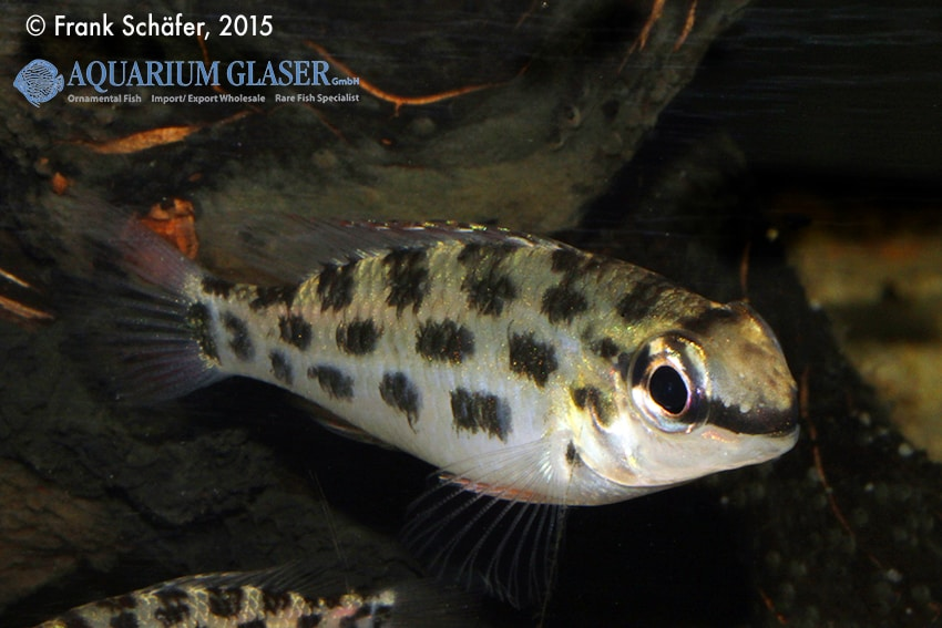 Dicrossus foirni - Schachbrett-Cichliden 5