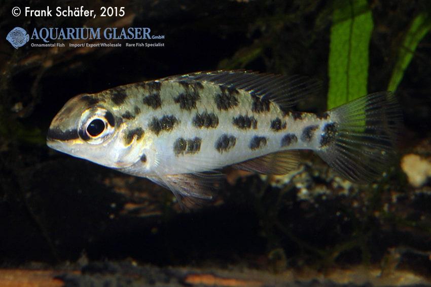 Dicrossus foirni - Schachbrett-Cichliden 6
