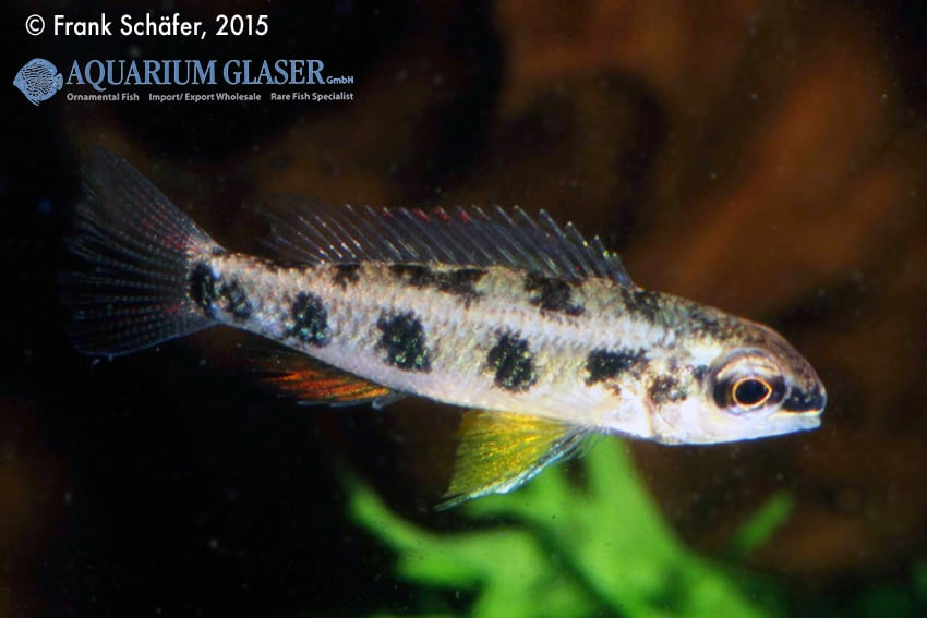 Dicrossus maculatus - Schachbrettcichliden 6