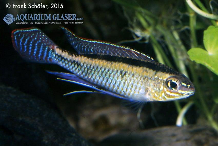 Dicrossus maculatus - Schachbrettcichliden 7