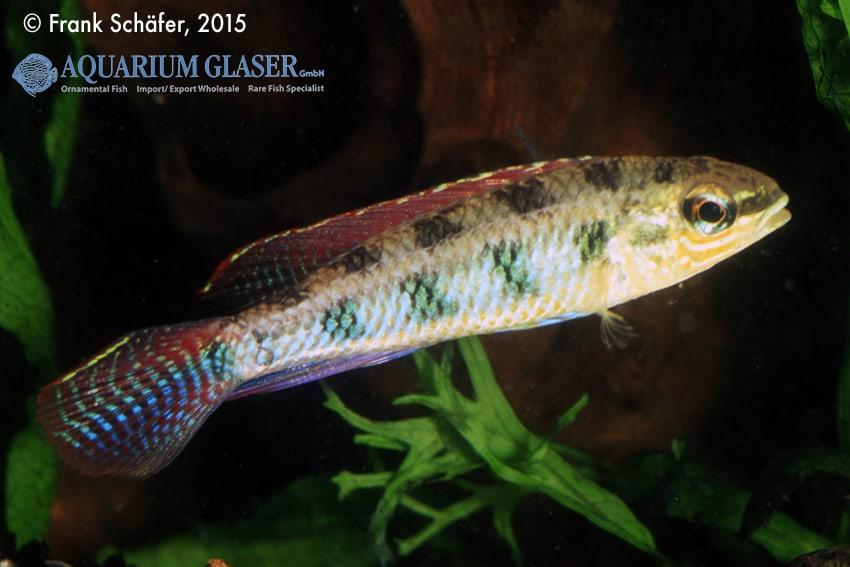 Dicrossus maculatus - Schachbrettcichliden 8