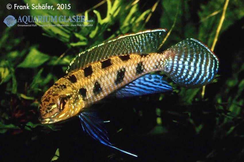 Dicrossus maculatus - Schachbrettcichliden 9