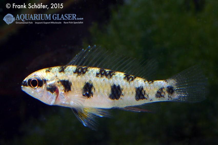 Dicrossus maculatus - Schachbrettcichliden 10