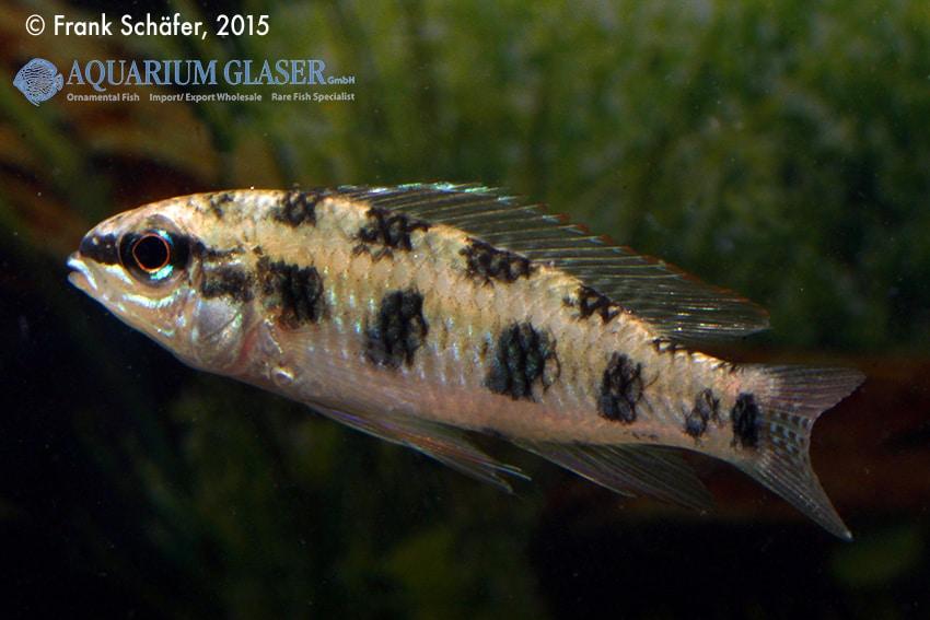 Dicrossus maculatus - Schachbrettcichliden 11