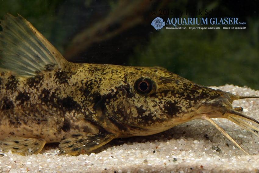 Auchenoglanis biscutatus 2
