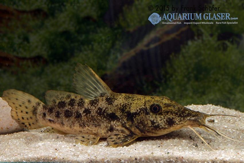 Auchenoglanis biscutatus 4