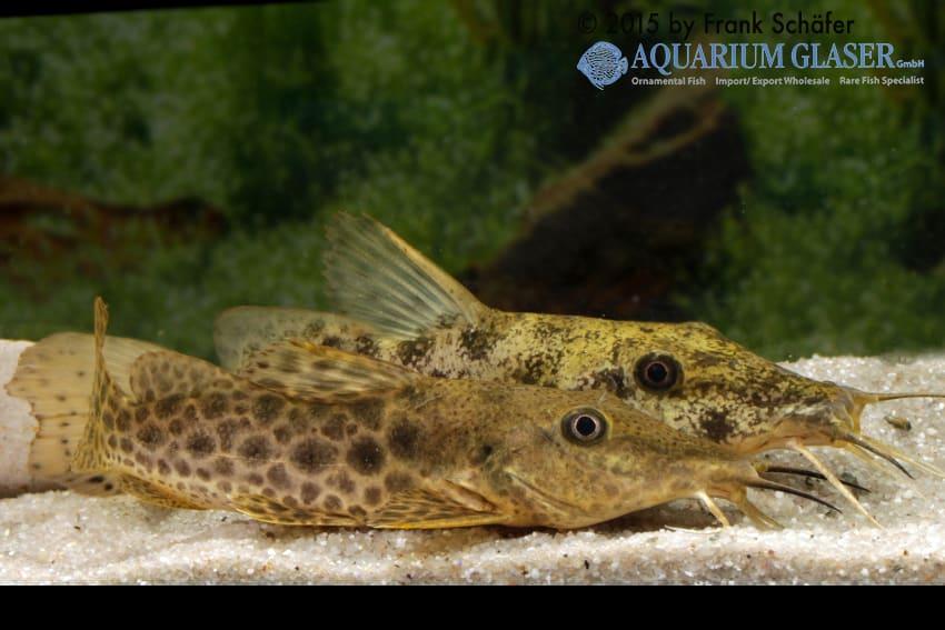 Auchenoglanis biscutatus 5
