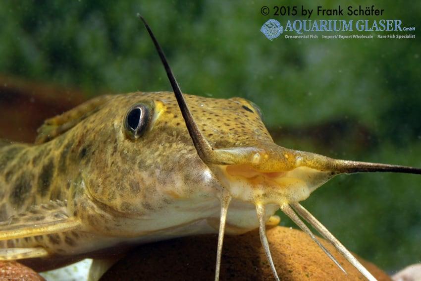 Auchenoglanis biscutatus 6