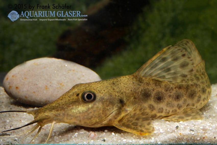 Auchenoglanis biscutatus 7