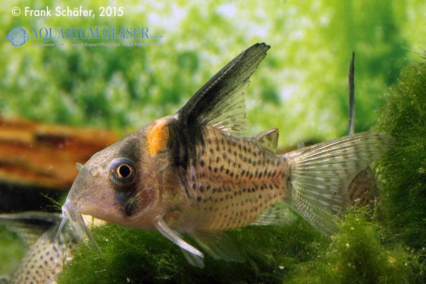 Corydoras cf. brevirostris (CW 27 Highfin) 2