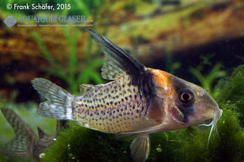 Corydoras cf. brevirostris (CW 27 Highfin) 5