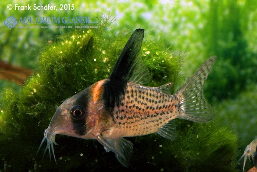 Corydoras cf. brevirostris (CW 27 Highfin) 4