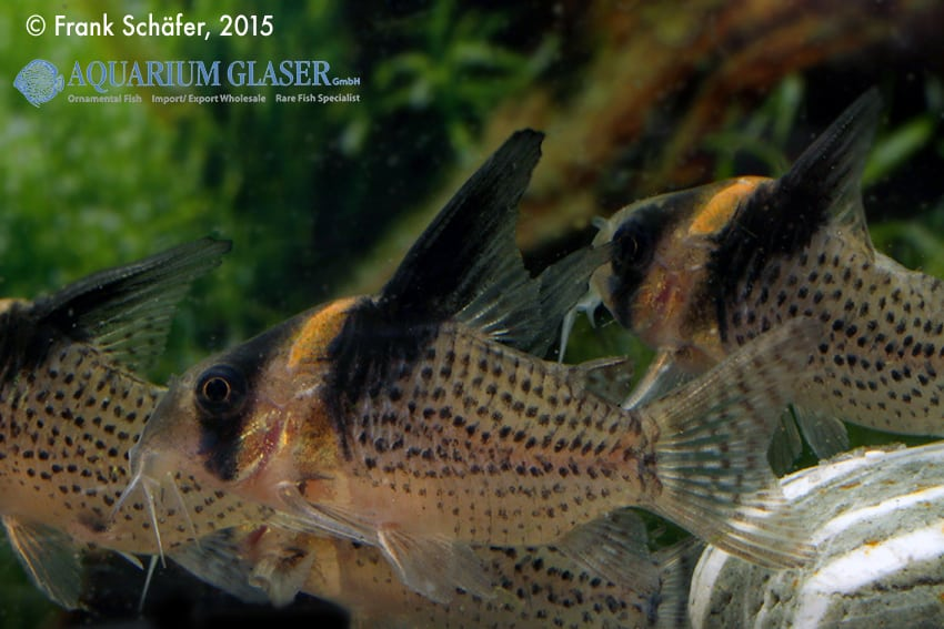 Corydoras cf. brevirostris (CW 27 Highfin) 3