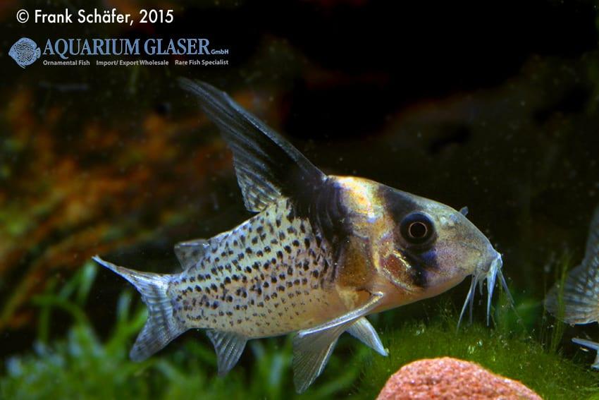 Corydoras cf. brevirostris (CW 27 Highfin) 1