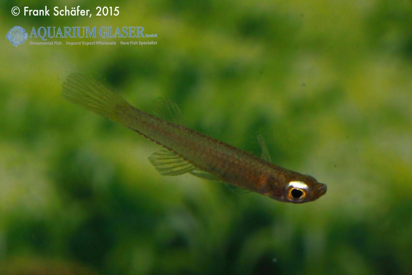 Fluviphylax sp. - Zwergleuchtaugen 5