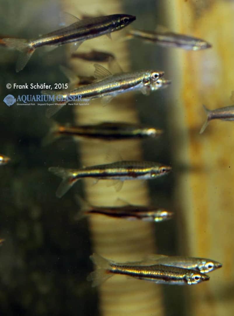 Nannostomus marylinae 5