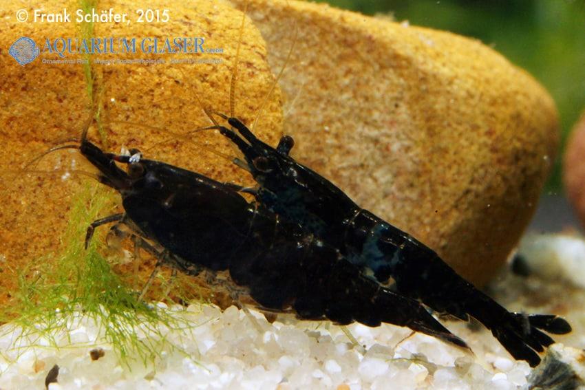 Neocaridina davidi Black Choco 1