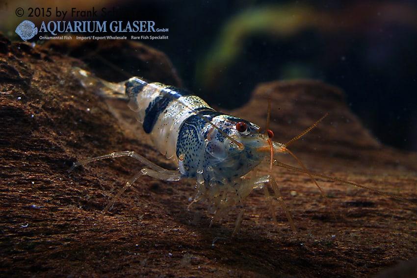 Paracaridina zijinica - Mustang shrimps 3