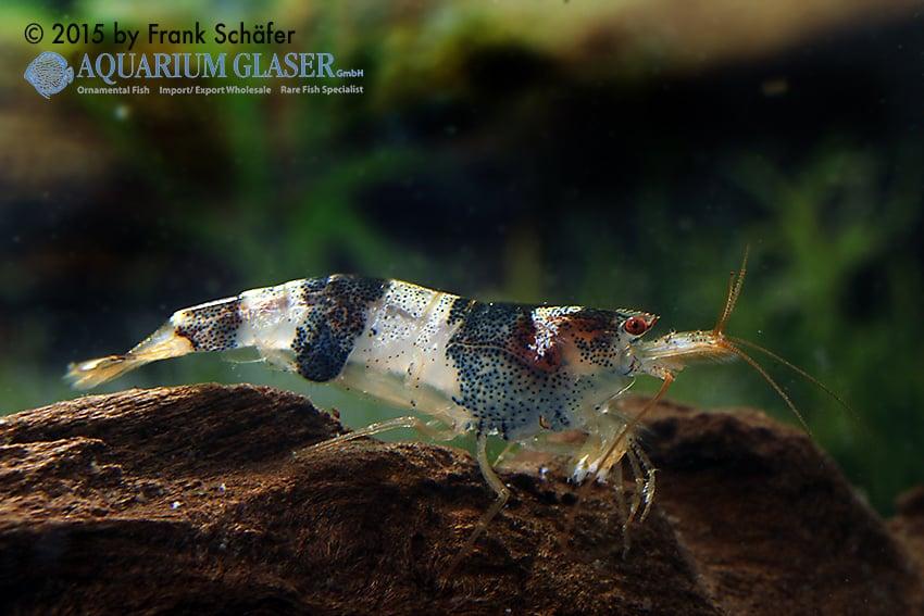 Paracaridina zijinica - Mustang shrimps 1