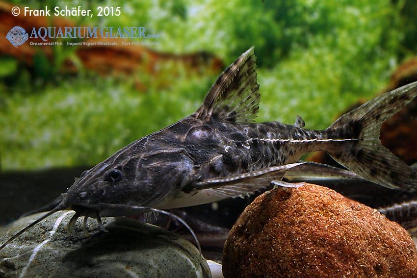 Pterodoras granulosus 2
