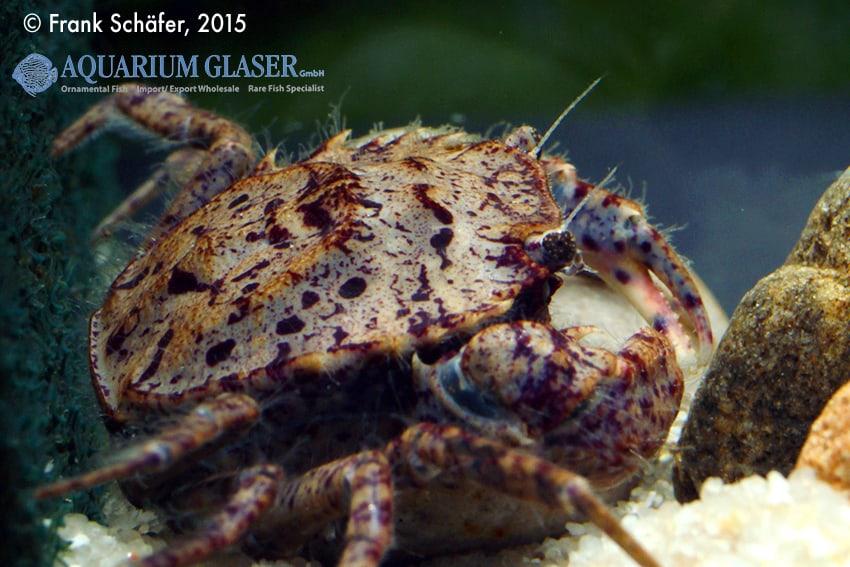 Trichodactylus sp. Paraguay 3