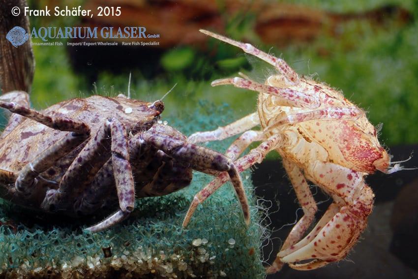 Trichodactylus sp. Paraguay 2