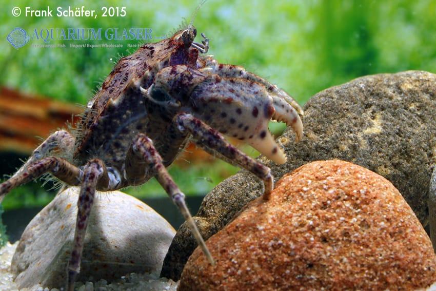 Trichodactylus sp. Paraguay 1