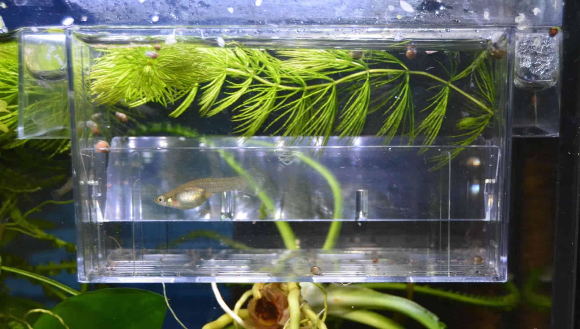 Fischnachwuchs aufziehen im Aufzuchtbecken oder Ablaichkasten 4