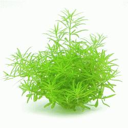 Limnophila spec. Vietnam 1