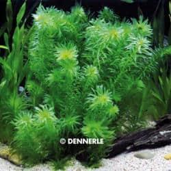 """Egeria densa """"tropische Art"""" 1"""