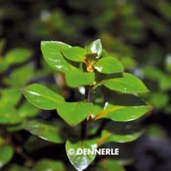 Ludwigia palustris ROT - Goldbraune Ludwigie 1