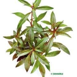 Ludwigia glandulosa perennis - Rote Stern - Ludwigie 1