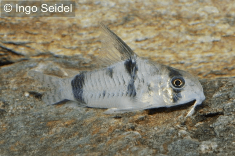 Corydoras reynoldsi 13