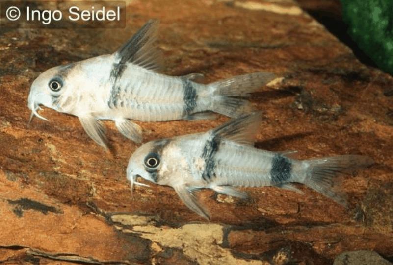 Corydoras reynoldsi 14