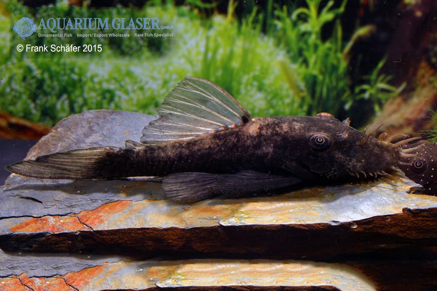 Ancistrus sp. Black Rio Negro (L88) 3
