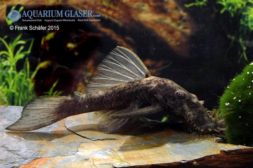 Ancistrus sp. Black Rio Negro (L88) 2